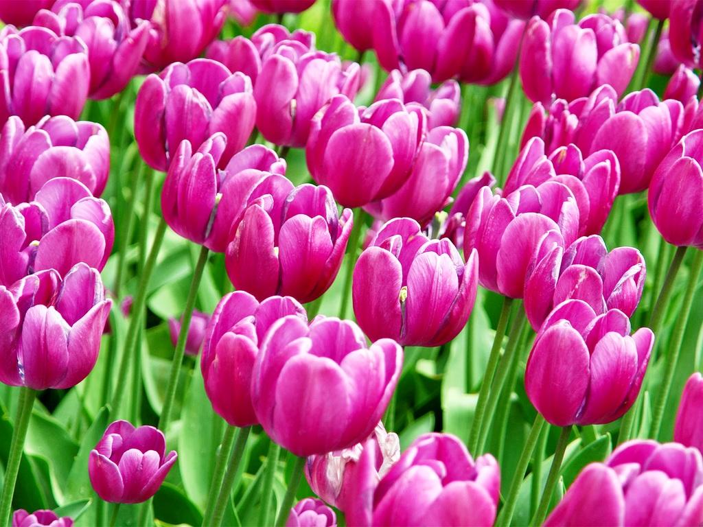 Картинки к 8 марта красивые тюльпаны